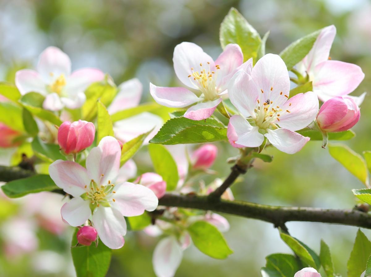 Obstbäume befruchten – so können Sie nachhelfen